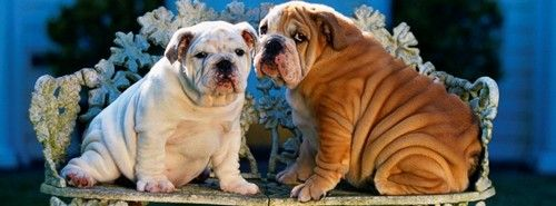 Bulldog Puppy Wallpaper