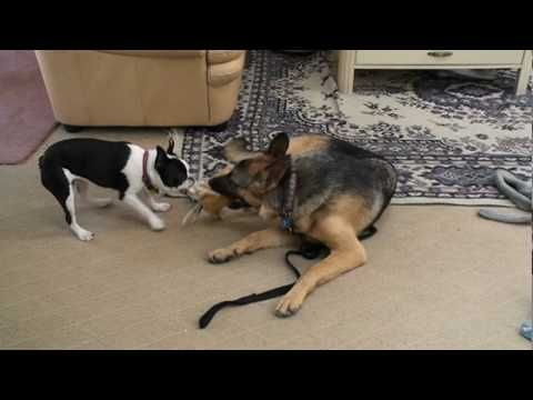 German Shepherd And French Bulldog Sharing A Toy German Shepherd