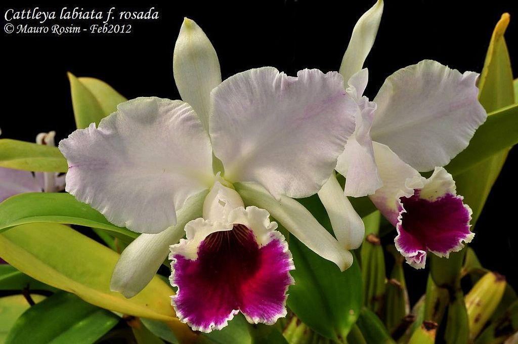 Cattleya Labiata F Rosada Cattleya Orchid Photo Beautiful Orchids
