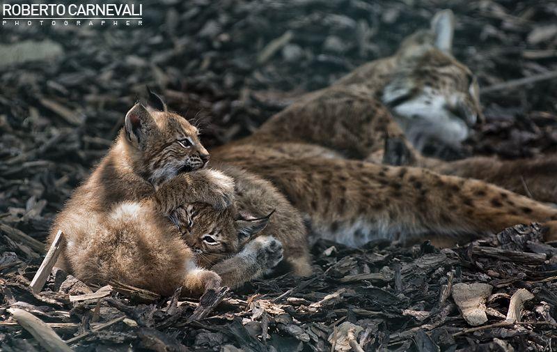 Lynx games | © Roberto Carnevali