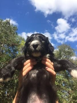 Litter Of 9 Sheepadoodle Puppies For Sale In Jacksonville Fl Adn