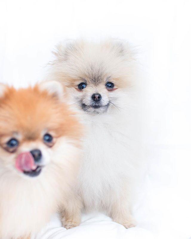 Photobomb Cute Animals Puppies Cute Baby Animals Cute Pomeranian