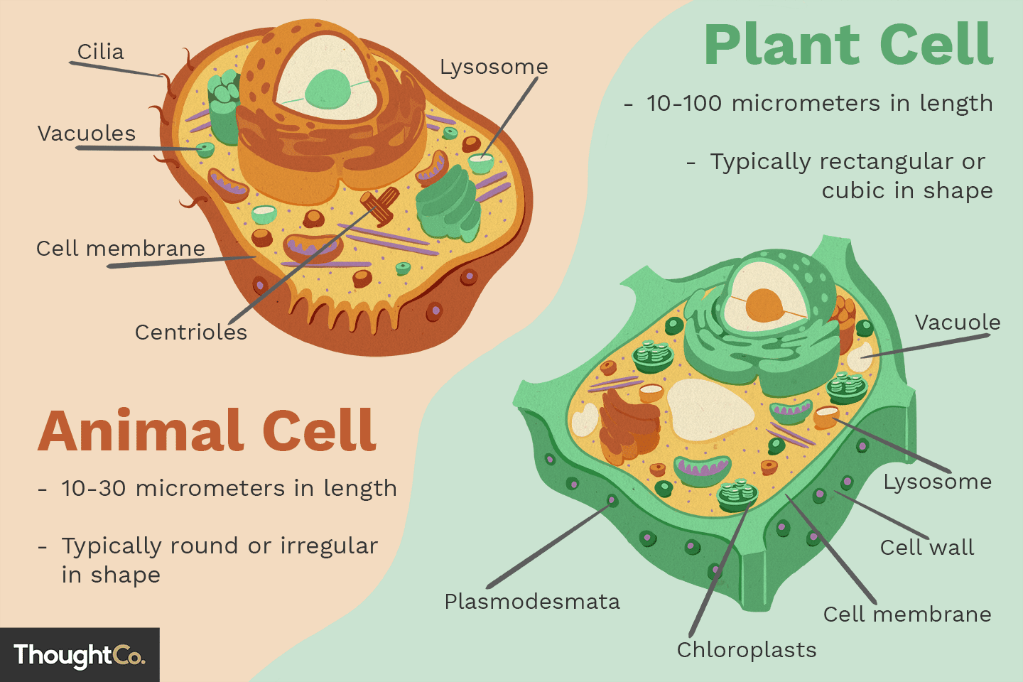 Differences Between Plant And Animal Cells Animal Cell Plant Cell Plant Cell Diagram