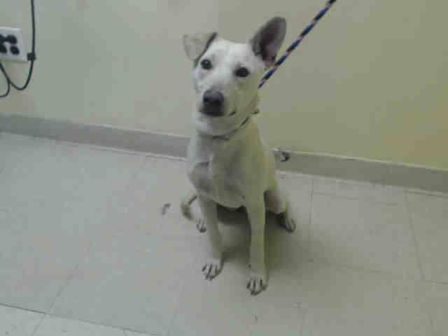 Safe Urgent Staten Island Center Shelby A0994270 Female Cream White Labrador Retr