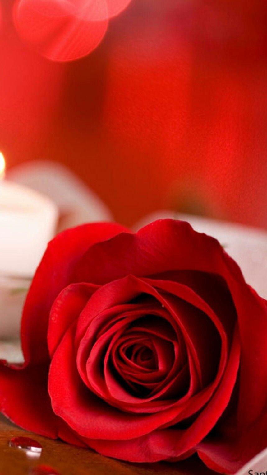 Pin By Sobre Alas De Paloma On Rose Rose Wallpaper Red Roses Love Rose
