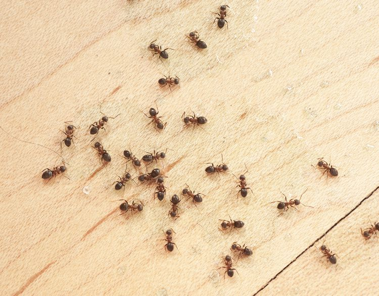 12 Simple Ways To Control Little Ants Get Rid Of Ants Ants Ant
