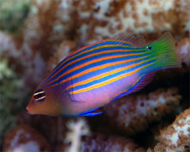 Six Line Wrasse Pseudocheilinus Hexataenia Species Profile Six Line Wrasse Pseudocheilinus Hexataenia Care Instructions In 2020 Salt Water Fish Fish Marine Fish