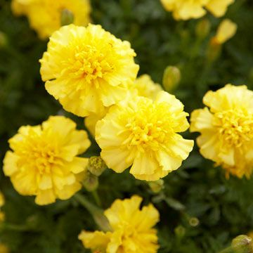 Best of the Best: Award-Winning Annuals AAS French marigold Janie - a favorite of AAS Judges