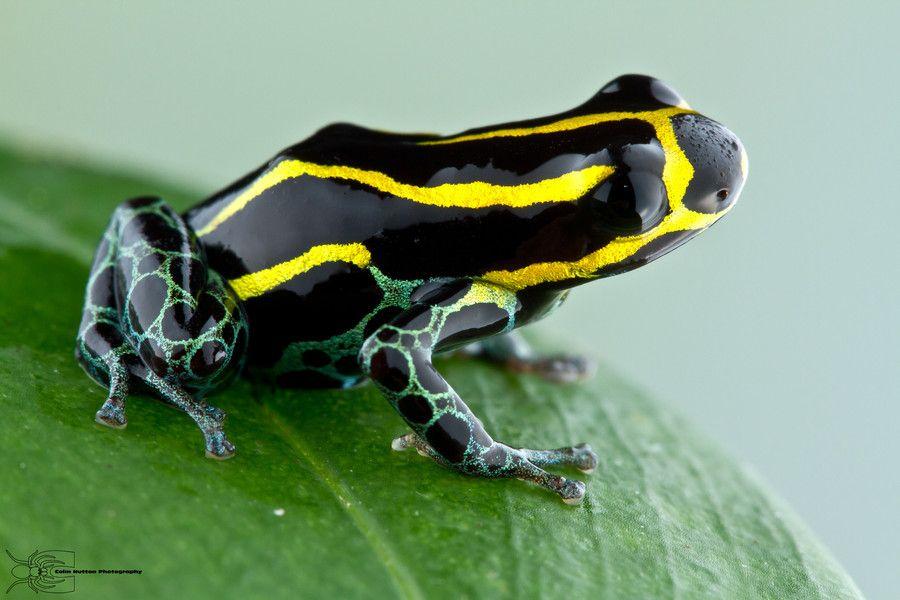 Amazonian Poison Dart Frog Ranitomeya Ventrimaculata By Colin