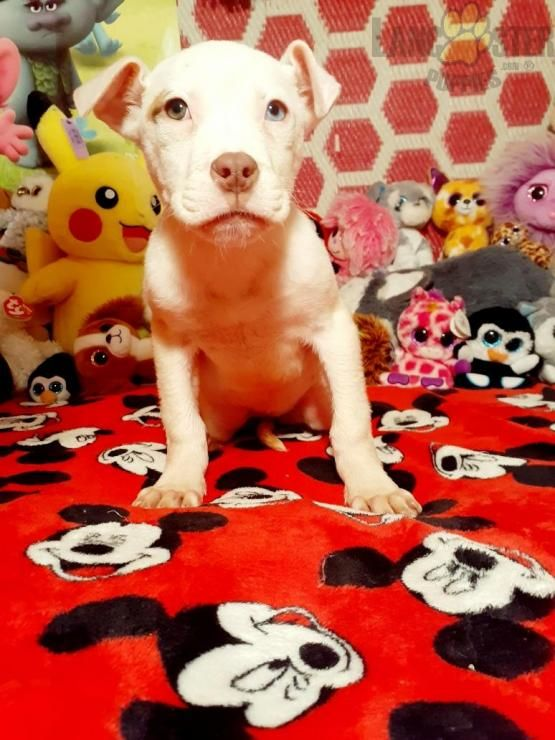 Blue Eye American Bulldog Puppy for Sale in Rochester