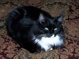 I Miss U My Love Black And White Long Haired Tuxedo Cat Gorgeous Cats Cats Tabby Cat