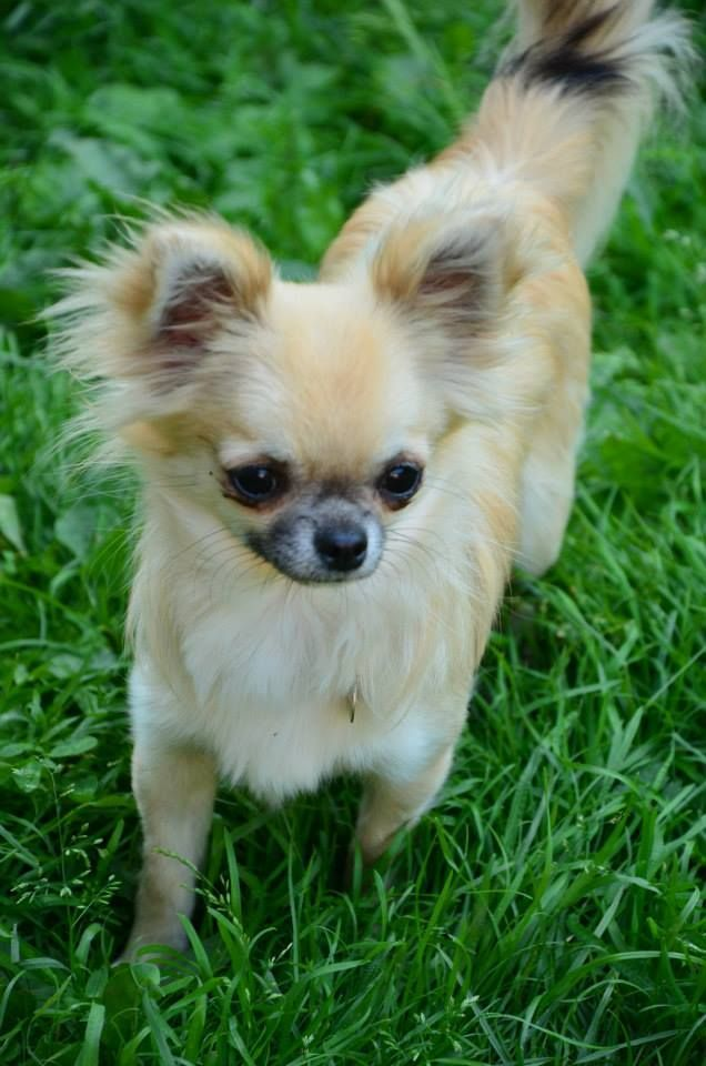 Chihuahua Chihuahua welpen, Lustige tiere, Tiere