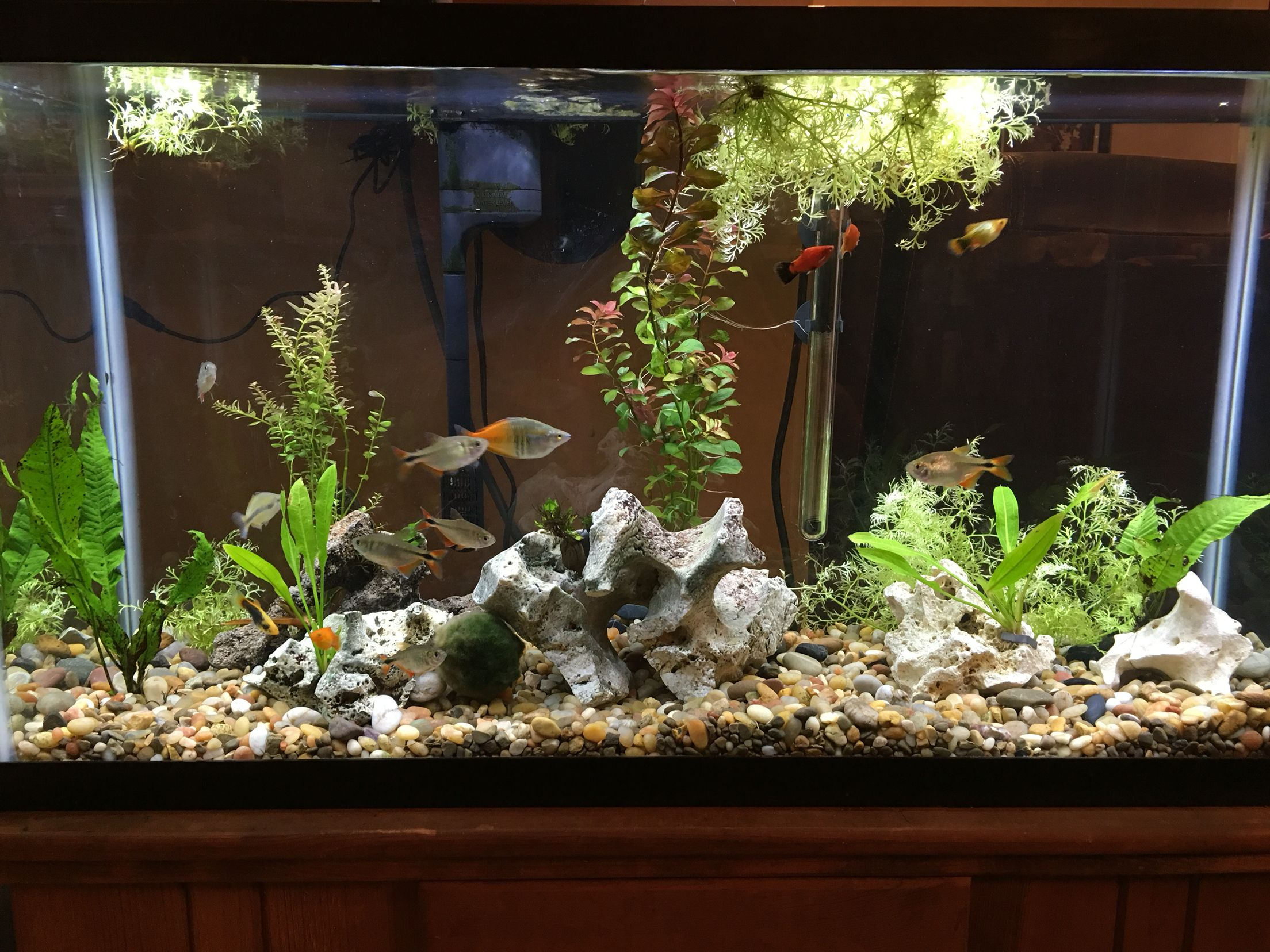 My 40 Gallon Freshwater Community Tank With Live Plants