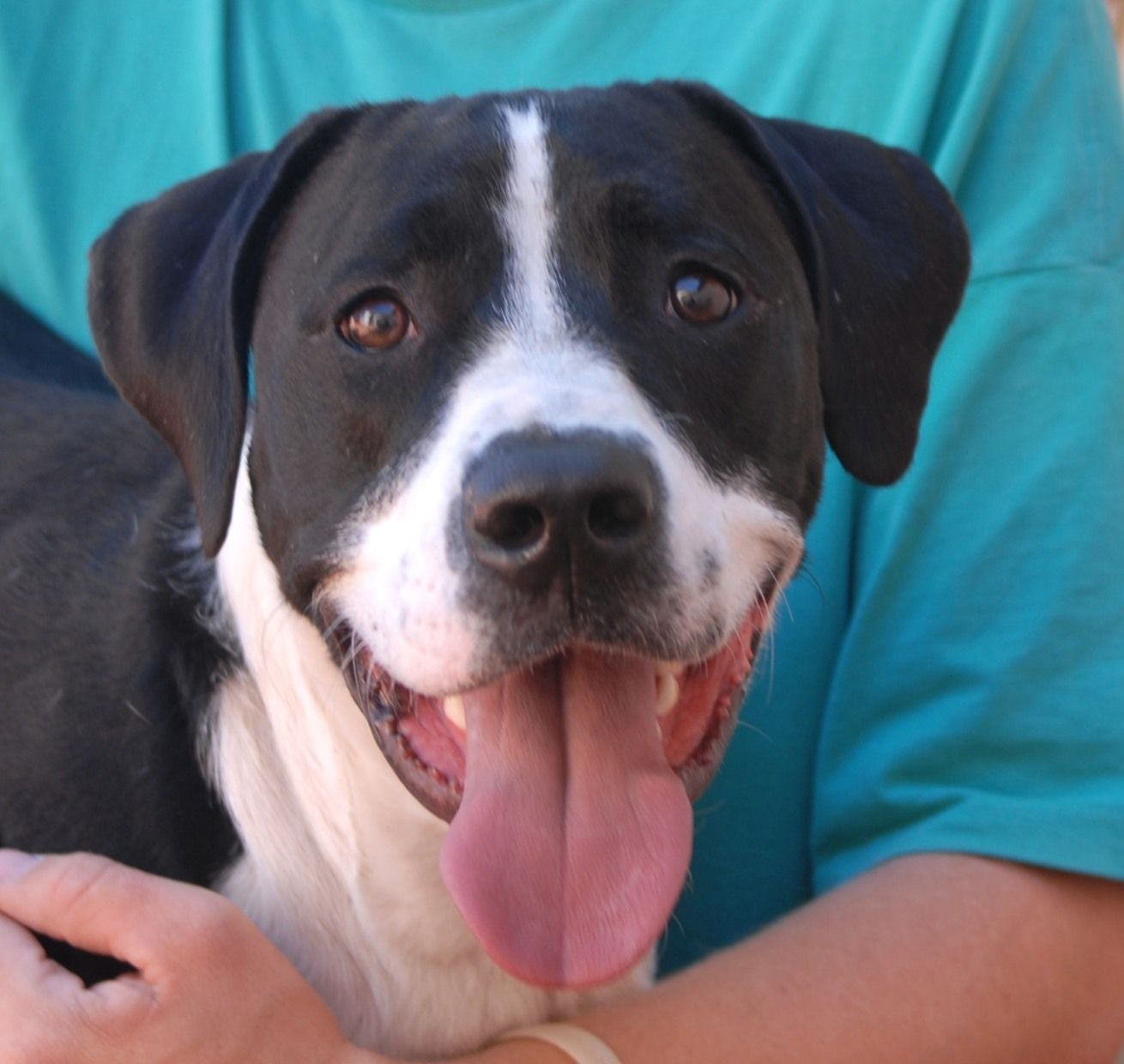 Doug is a smart, well-behaved youngster who loves everyone -- kids, adults, dogs, and cats.  His parents were reportedly a Basset Hound & American Bulldog (he has short legs and a long body) and he is 1 year of age, neutered, and debuting for adoption today at Nevada SPCA (www.nevadaspca.org).  Doug loves to cuddle and he rings a bell when he needs to go outside.  He needed us due to his previous owner's divorce.