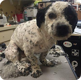 Oak Ridge Nj Bichon Frise Cockapoo Mix Meet Elliot A Dog For Adoption Bichon Frise Pet Adoption Dog Adoption