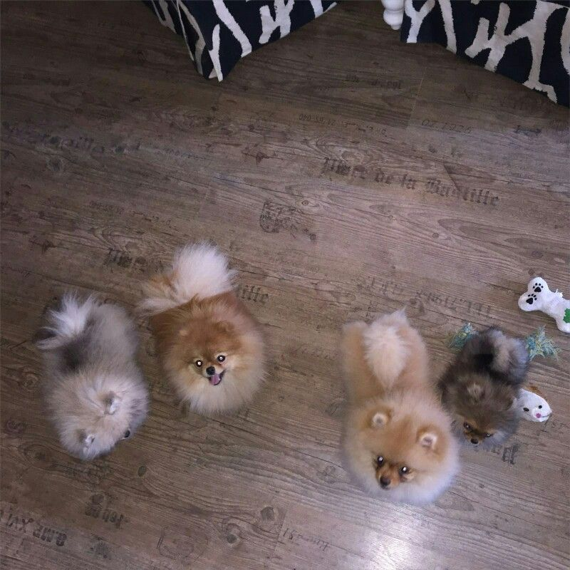 Puppies Puppies, Pomeranian, Animals
