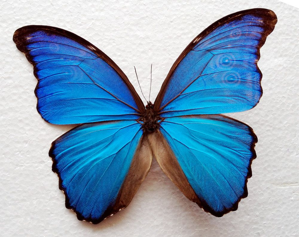 Real blue morpho butterfly framed in double glass display real blue morpho butterfly framed in double glass display buycottarizona