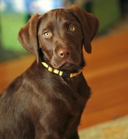 Brittany Labbie Mix Soooo Cute Labrador Mix Lab Mix Puppies