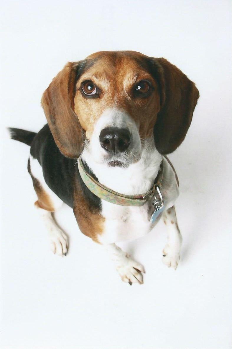 Life With Beagle Photos Show Beagles At Orlando Akc Show