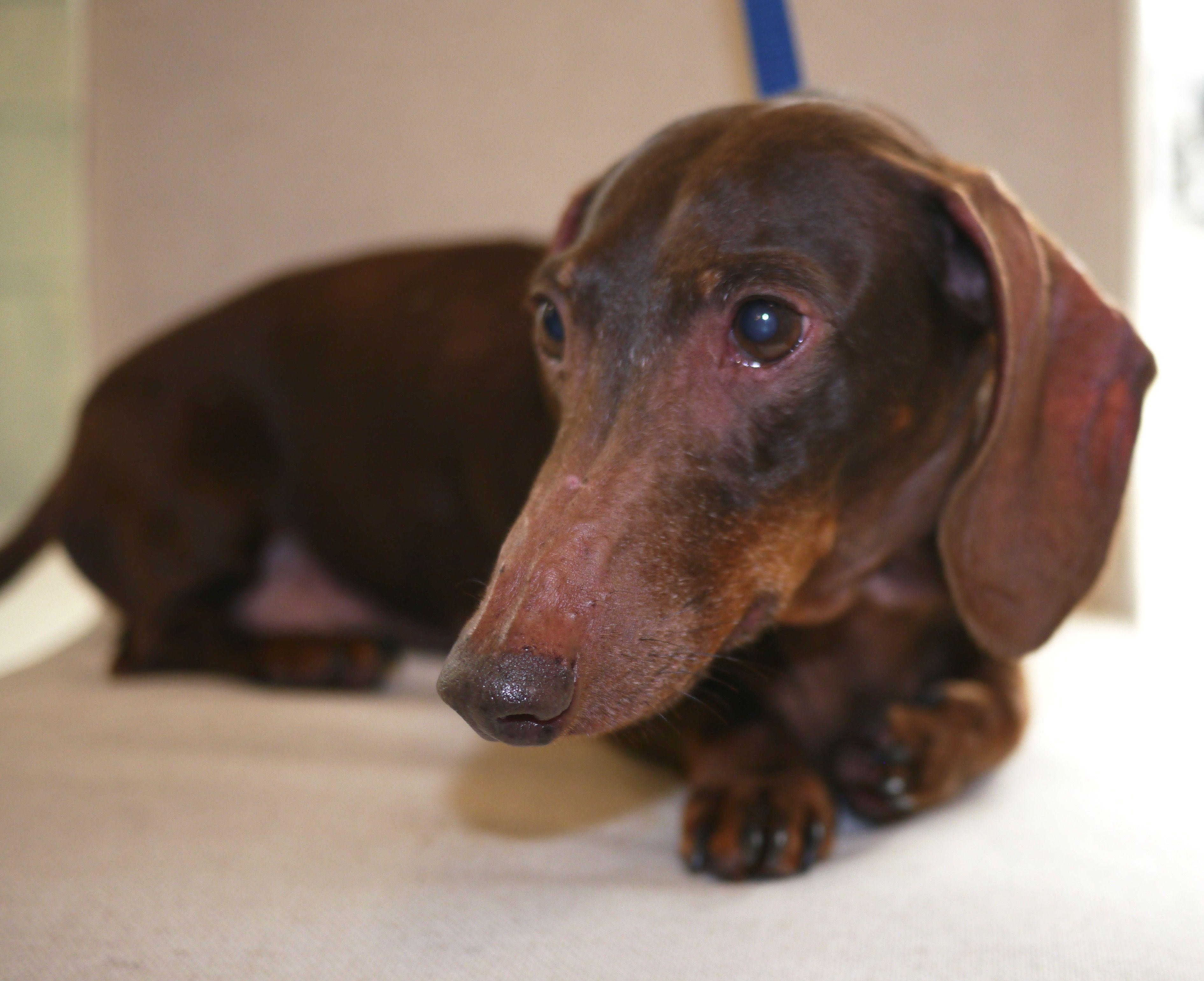 Dachshund Dog For Adoption In Friendswood Tx Adn 457400 On