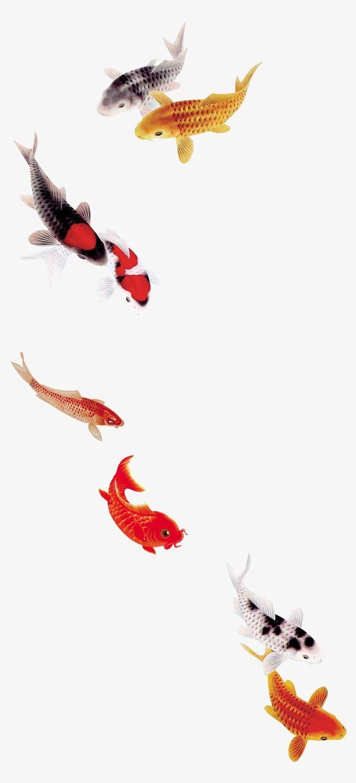 Beautiful Koi Carp Fish Goldfish Fine Beautiful Fine Fish Png Transparent Clipart Image And Psd File For Free Download Koi Carp Fish Koi Carp Goldfish