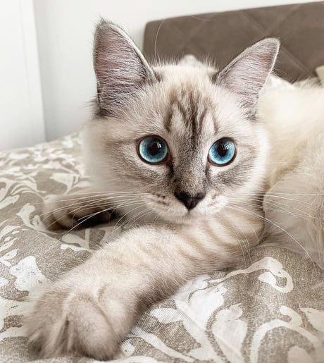 One Pretty Ragdoll Kitty Cute Cats And Kittens Cute Baby Animals Cats And Kittens