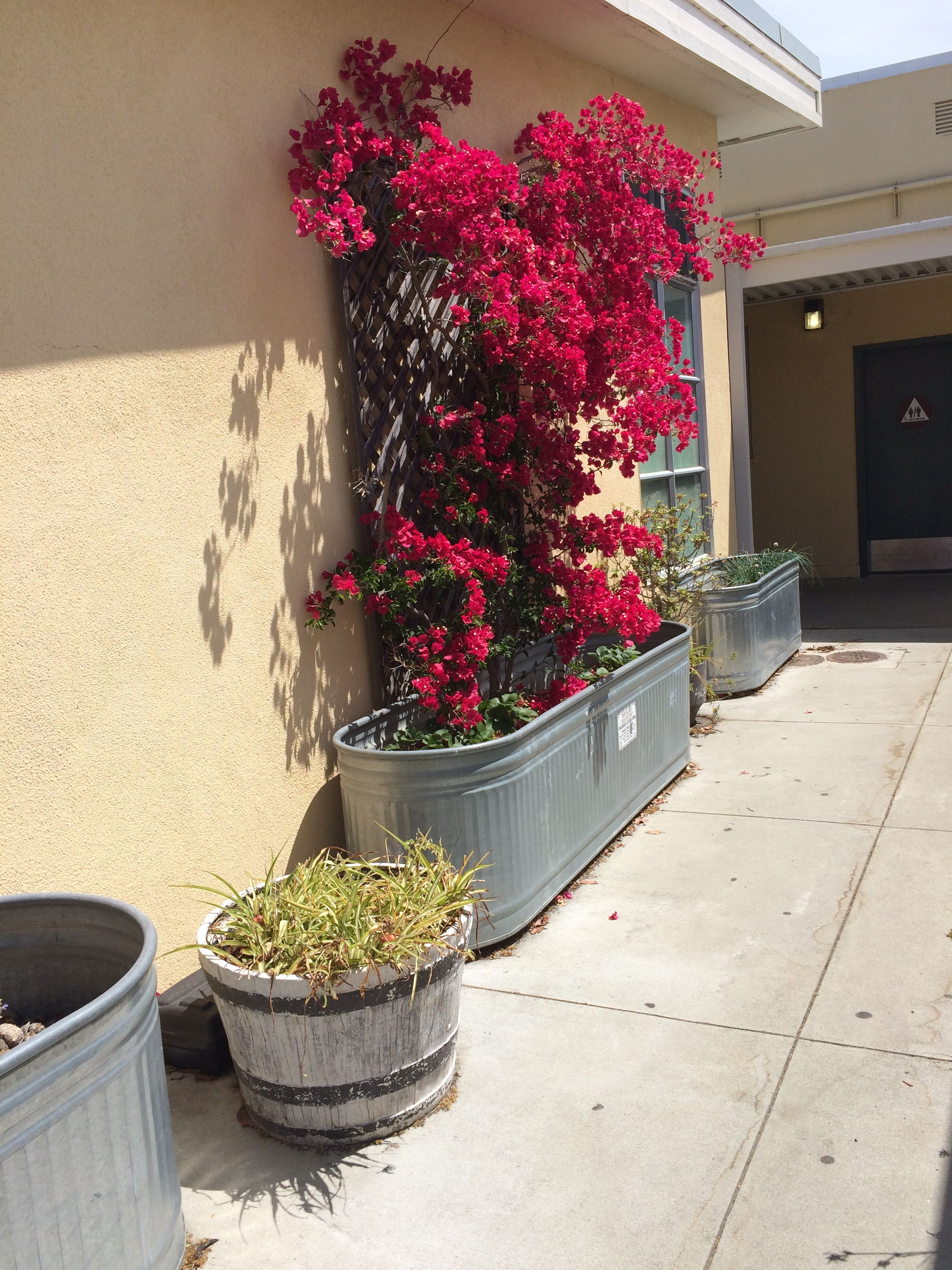 Ahhh Yes Bougainvillea Also Note The Planter It S In And The Wine Barrel Planter Whiskey Barrel Planter Barrel Planter Indoor Plants