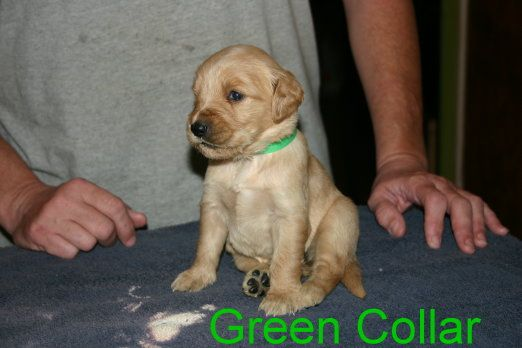Golden Retriever Puppy For Sale In Davenport Fl Adn 28546 On