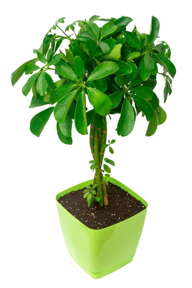 Maximum effect atminimum cost is Schefflera. - Top 15 plant that are best for removing toxins according to NASA. Flamingo Lily, Gerbera Jamesonii (look like mums), Golden Lotos, Aglaonema,Spider plant, Ivy, Azalea, Mother-in-Law's Tongue, Dracaea Marginata, Philodendron, Boston Fern, Peace Lily, Bamboo Palm, Schefflera, Chrysanthemum. There are pictures of all these plants and most are common office plants you will recognize...maybe people naturally gravitate to these plant?
