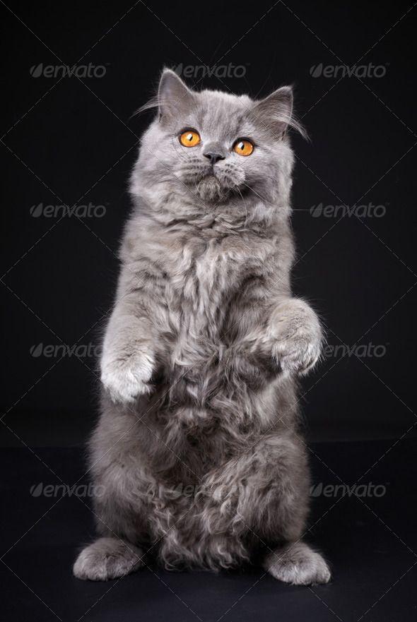 Gray British Longhair Kitten British Longhair One Animal Studio Shot Vertebrate Adorable Alert Animal A Funny Cat Pictures Kittens Cats And Kittens