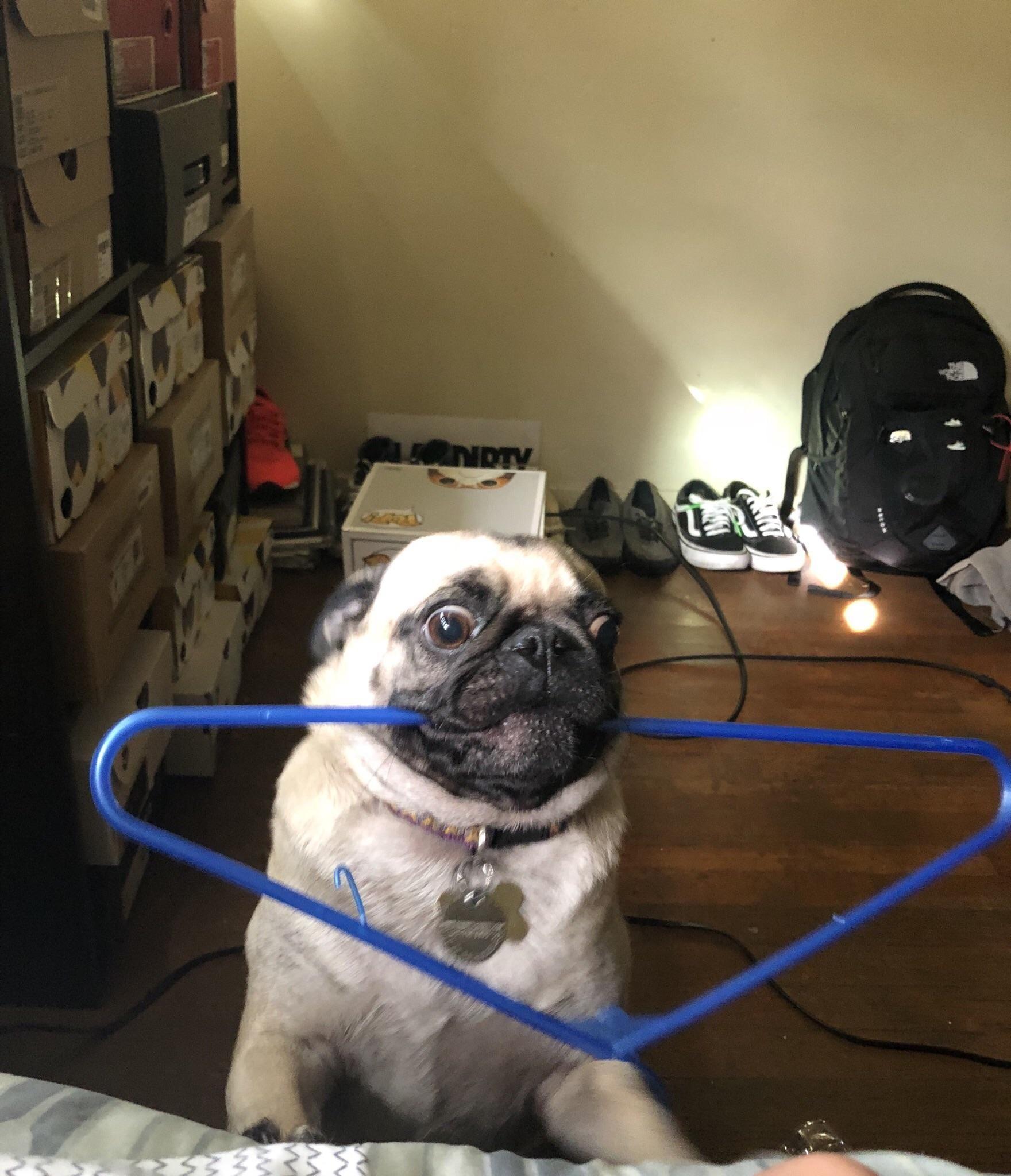How I Got Woken Up This Morning Smart Dog Toys Cute Animals Pugs