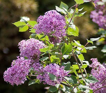 Syringa Bloomerang 1 Gallon Pot Bloomerang Lilac Lilac Bushes Lilac Plant