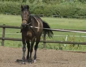 Here's What You Can Teach Your Two or Three Year Old Horse: Horse being lunged in lunging aids.
