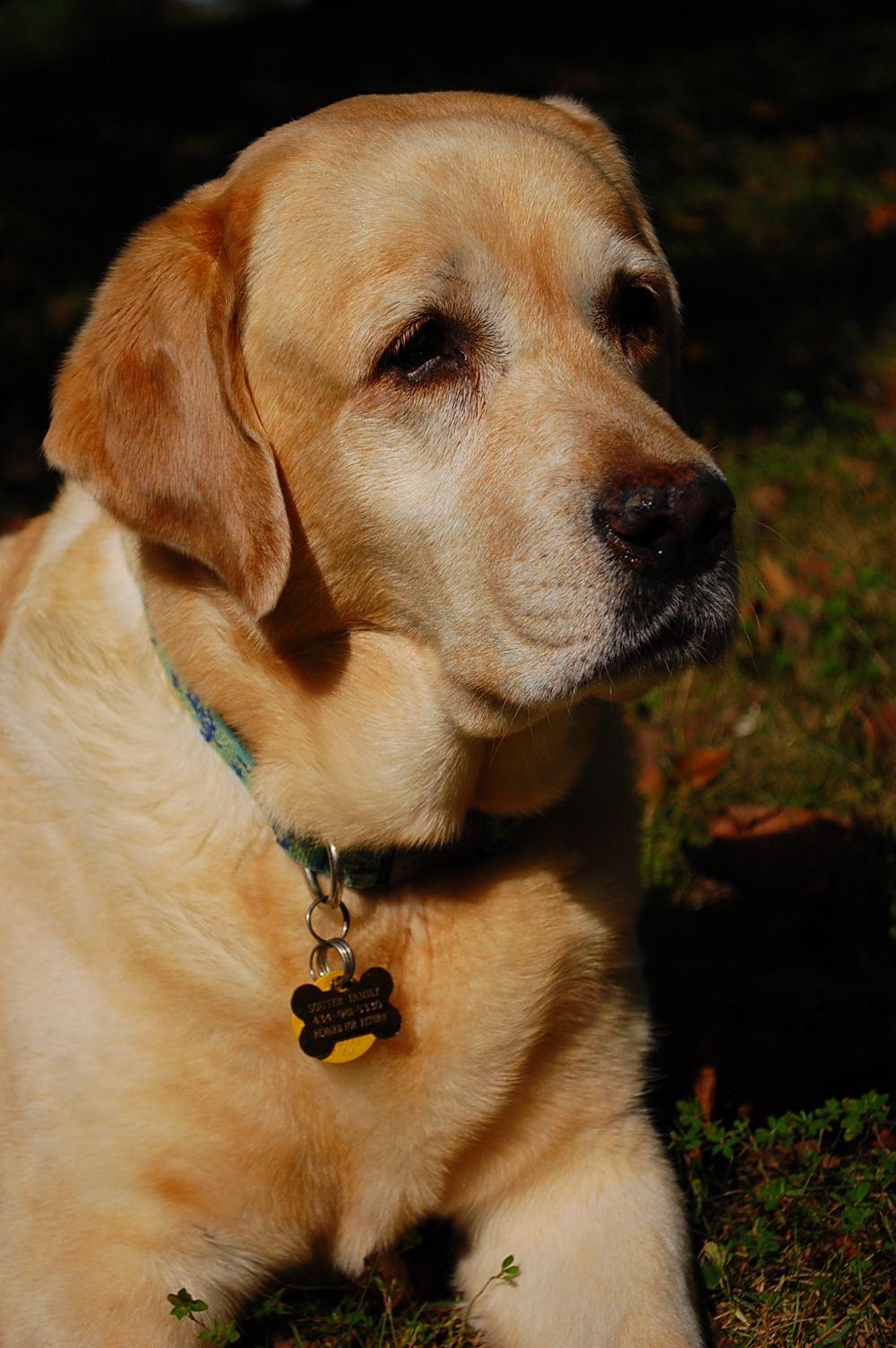 Pin By Michele Dougherty On My Labs Labrador Retriever Labrador