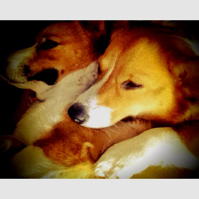 Snuggle time with my Corgi <3