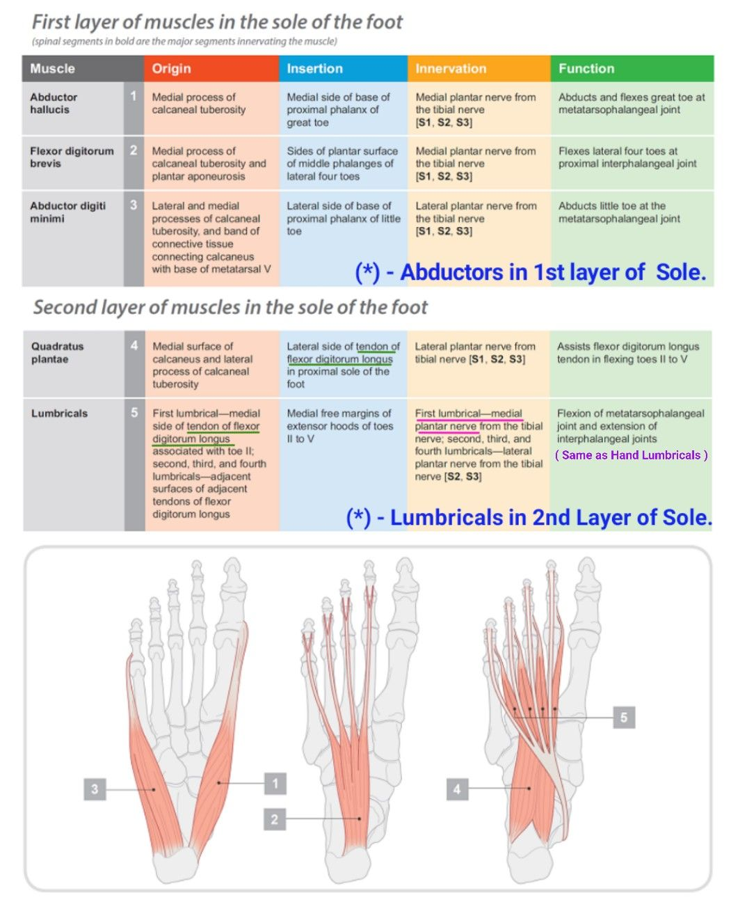 Layers of Sole of Foot _01   Muscles   Pinterest   Sole and Muscles