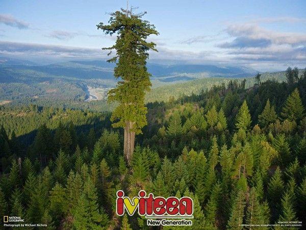 Đong đếm độ khủng của loài cây cao nhất thế giới - http://www.iviteen.com/dong-dem-do-khung-cua-loai-cay-cao-nhat-the-gioi/  Loài cây tùng gỗ đỏ với chiều cao 115,6m này được ghi nhận là loài cây cao nhất thế giới.       Nếu như được hỏi ngọn núi nào cao nhất thế giới hiện nay – hẳn bạn sẽ trả lời ngay rằng đó là đỉnh Everest thuộc dãy Himalaya, với chiều cao 8.840m.  Ng�