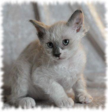 Glozzy Maja 8 V La Perm Kitten