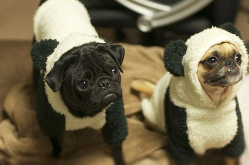 Panda Bear Dog Costumes Perros Pug Animales Lindos Pug