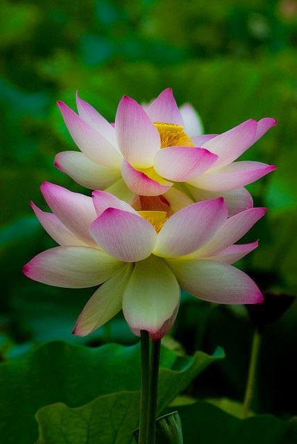 Double Lotus Backyards Click Flowers Flowers Beautiful
