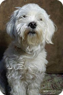 Adopt Salong On Petfinder Dog Adoption Maltese Poodle Poodle Mix Dogs