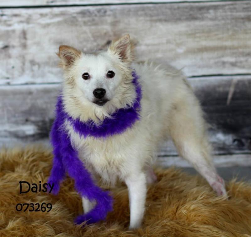 Adopt Daisy on American eskimo dog, Dogs, Puppy love