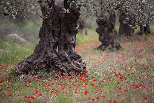 Hike from Ain Al-Asad to Beit Jann & Rame villages - 2000 years olive trees in fields of poppies