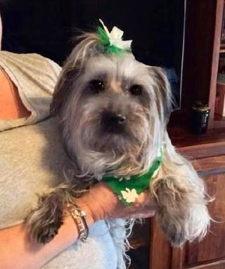 Daisey Mae West Is A Spayed 9 Year Old Female Yorkiepoo Located In Pittsburgh Pa From Save A Yorkie Rescue Inc Her Adoption Fee Yorkie Poo Dog Adoption Yorkie