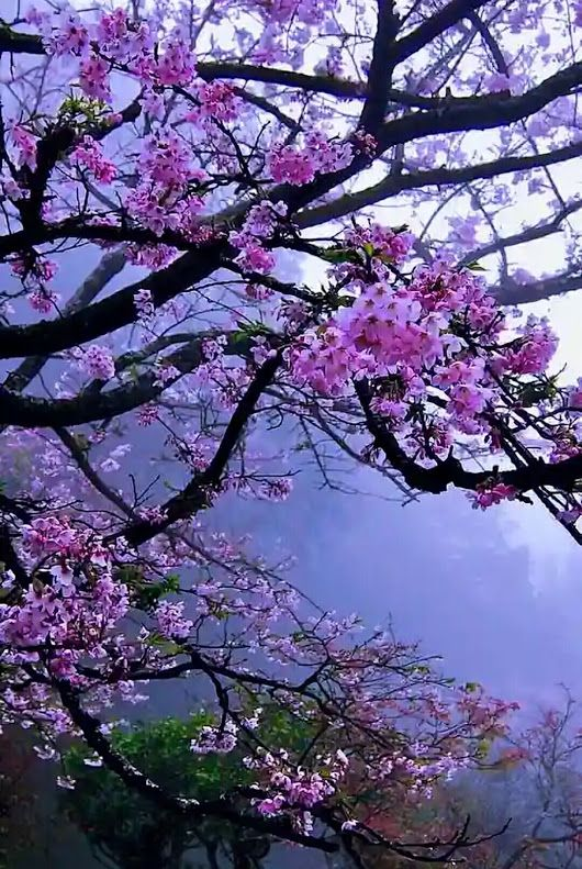 Cherry Blossoms Against A Hillside Mist Beautiful Nature Nature Pictures Nature Photography