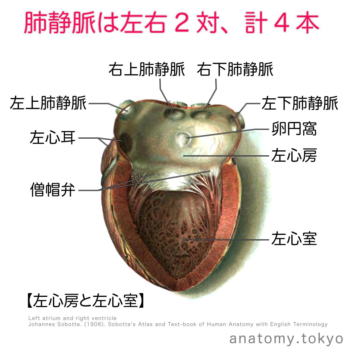 肺静脈は 本 ある 解答 4 肺静脈は左右2対 計4本あります 解剖学 循環器系 心臓 肺静脈 Pulmonary Vein 一問一答 Https Www Anatomy Tokyo Oqoa E3 80 90 E4 B8 80 E5 解剖学 循環器系 人体解剖学