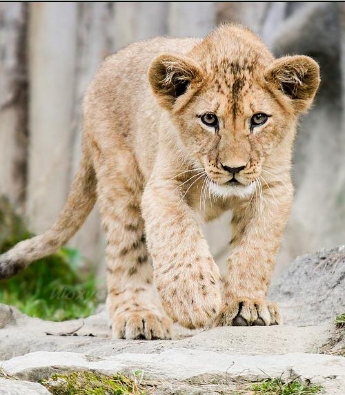 Baby lion | Baby lion, Cute animals, Animals