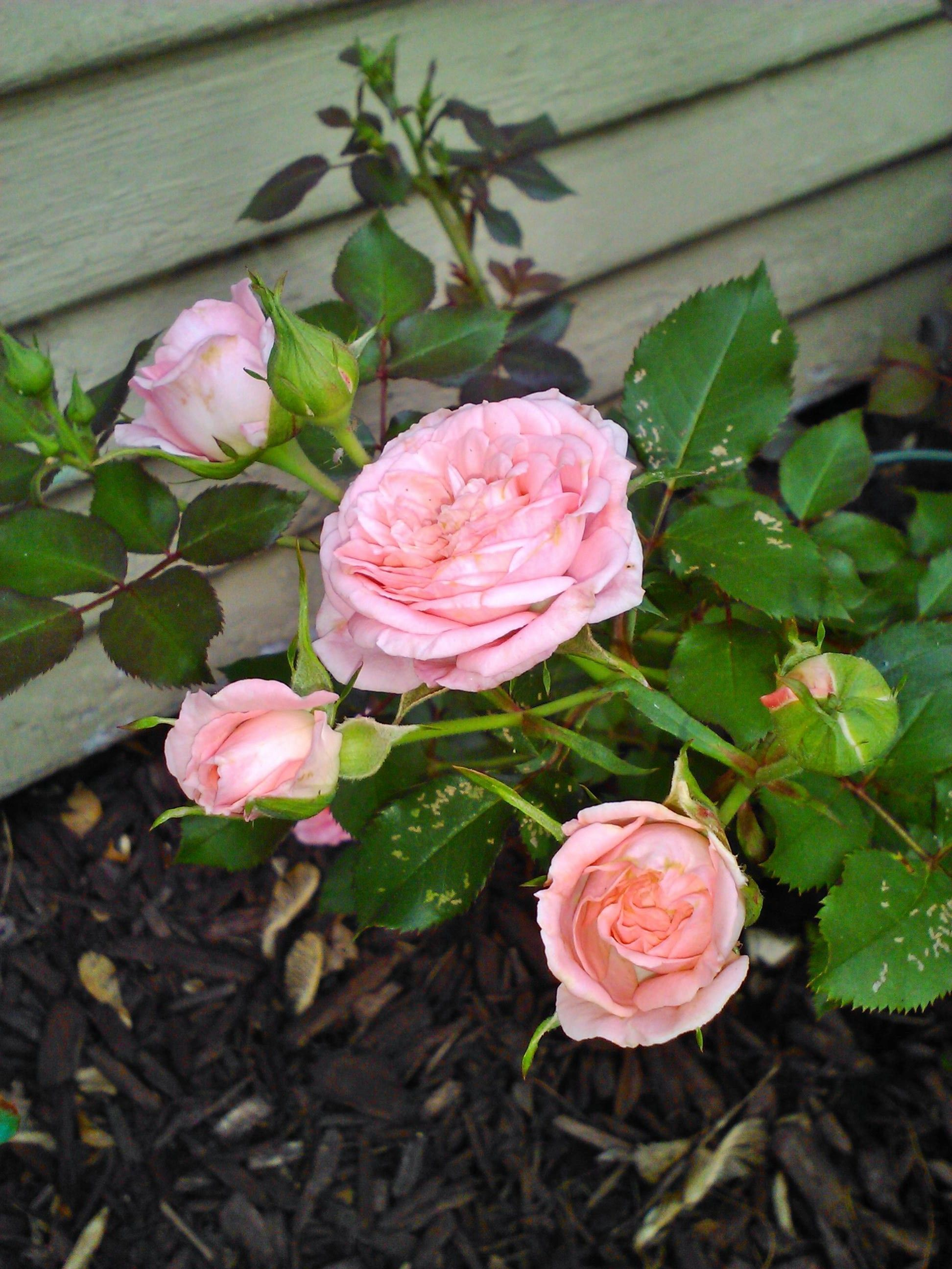 Miniature Rose Bush I Planted In Memory Of My Dad Is Blooming Like Mad Rose Bush Planting Roses Beautiful Flowers Garden
