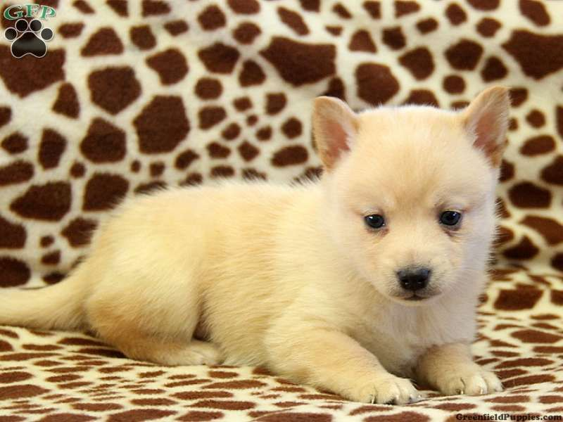 Pomsky Puppies Breeders In Pa References