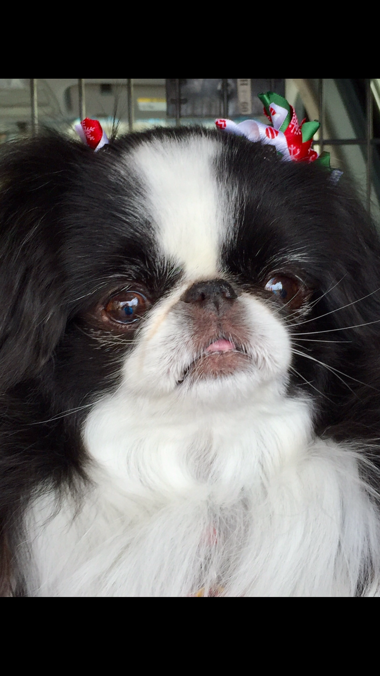 Idea by Sherrie Johns on Japanese chins Japanese chin
